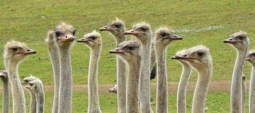 ostriches-373339